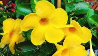 YELLOW MANDEVILLA
